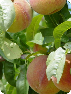 high country orchards discover peach varieties i yakima hale